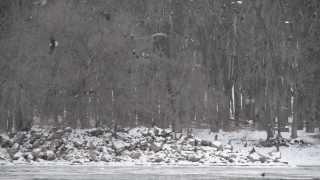 American bald eagles at Lock and Dam No. 13 (LD13) [9937]