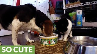 Fearless cat pushes head into beagle's food bowl