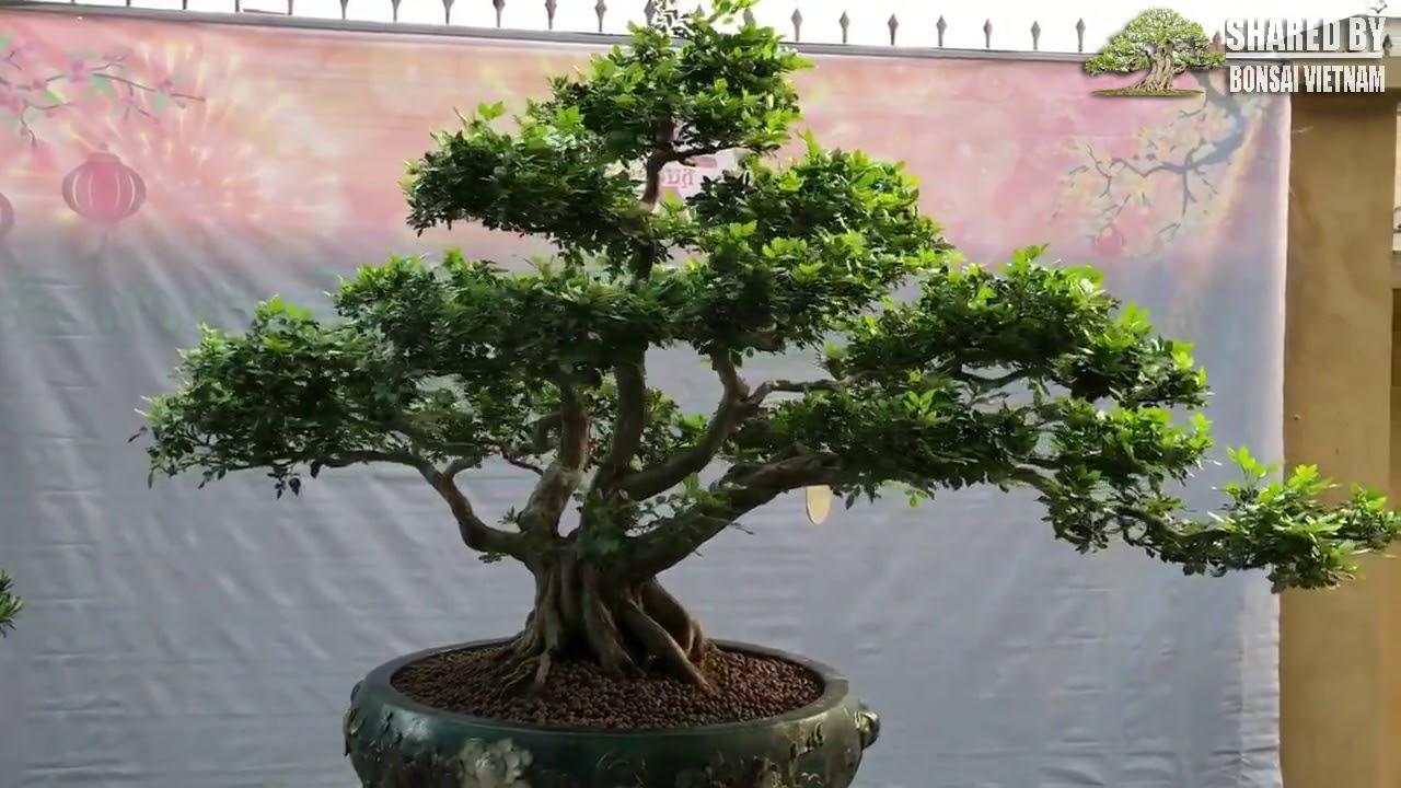 Laurus Nobilis Bonsai Tree Cay Nguyệt Quế Bonsai Của Anh Sơn Ha Nội