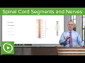 Spinal Cord Segments & Spinal Nerves – Brain & Nervous System | Lecturio
