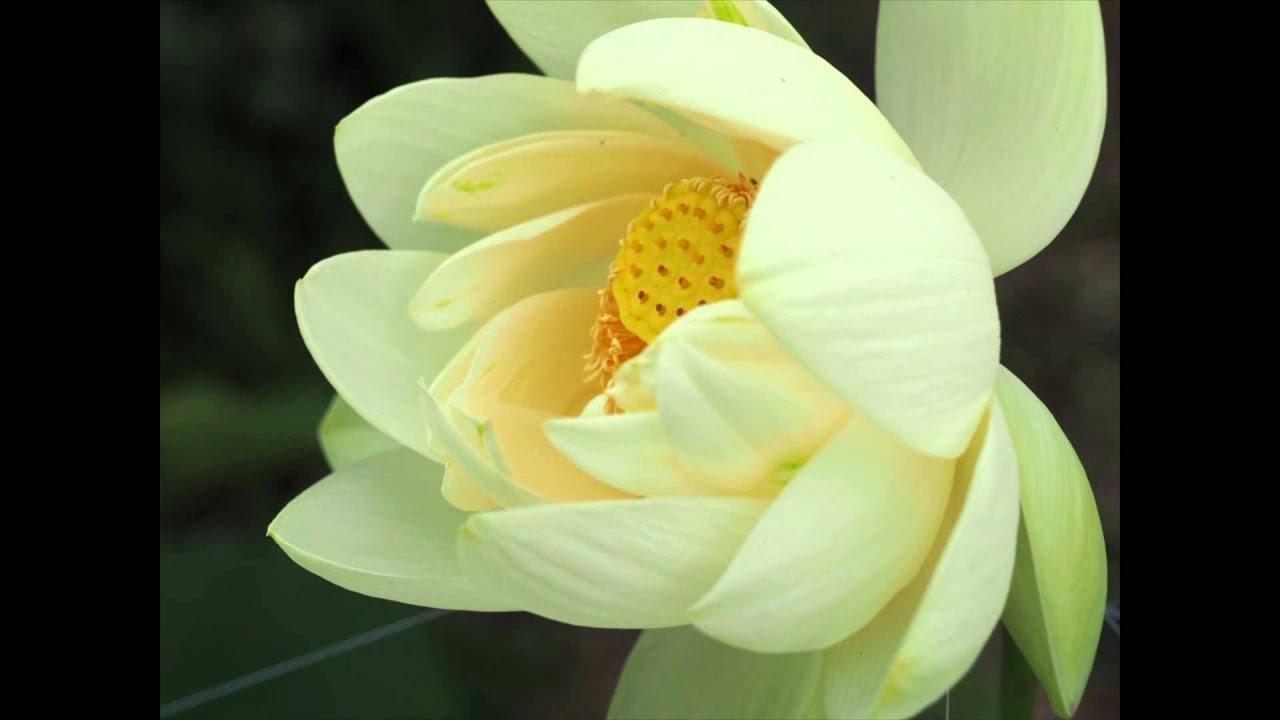 Fleur De Lotus Youtube
