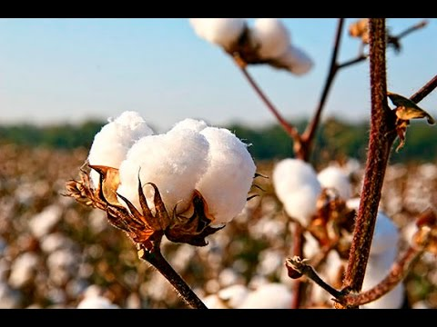 Cotton, Color and the Courtroom - Science Cafe