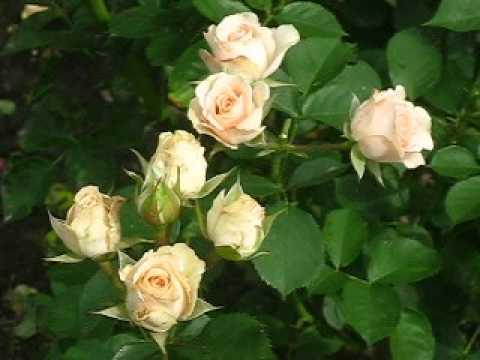 """Спрей роза """" Клементина"""""""