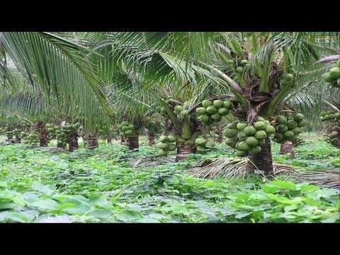 WOW! Amazing Agriculture Technology - Coconut tree