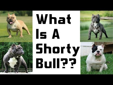 A New And Upcoming Breed: The Shorty Bull