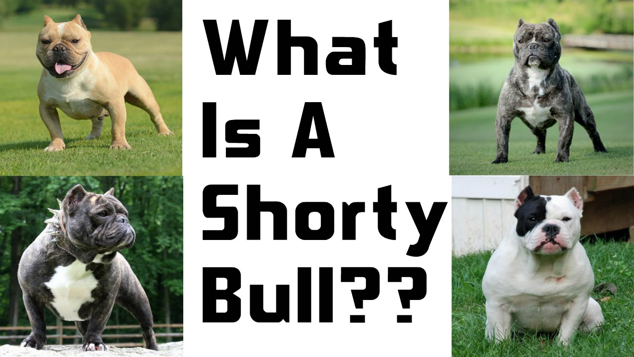 38403fad53 A New And Upcoming Breed  The Shorty Bull - YouTube