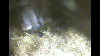 Red wolf pup born at Wolf Haven!