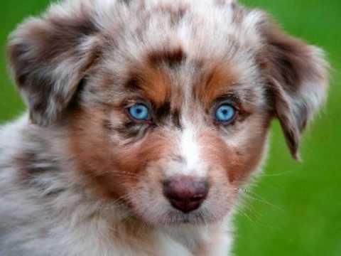 'Australian Shepherd Dogs'  [Mans Best Friend]