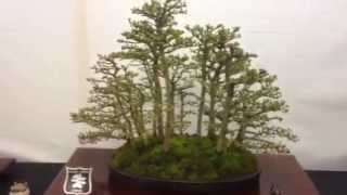 Wisley bonsai show with Sutton bonsai society
