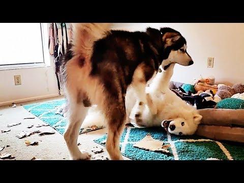 *EPIC Battle* Alaskan Malamute VS Siberian Husky Puppy!