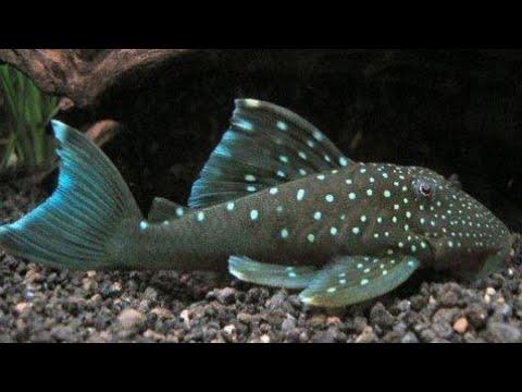 Top 10 Aquarium Pleco What You Need For A Pleco  Pleco Attack! Top 5 Bottom Aquarium Fish Pleco Tank