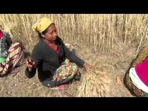 Harvesting wheat in Nepal using a sickle