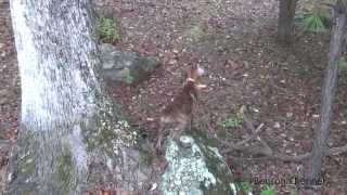 "Benson's King ""prime Time"" - Mountain Cur Pup Treeing Squirrel (benson's Kennel)"