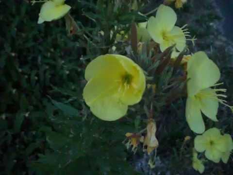 Les Fleurs D Onagre S Ouvrent A Vue D Oeil Le Soir Youtube