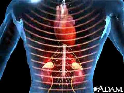 Adrenal Glands Animation