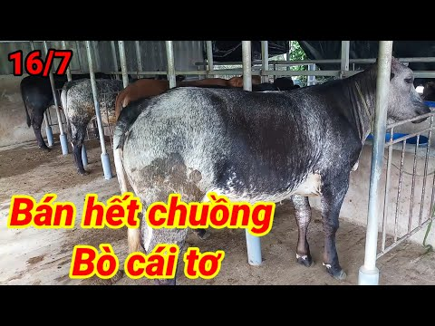 Chăn Nuôi Long An |Báo giá 5 con bò cái tơ