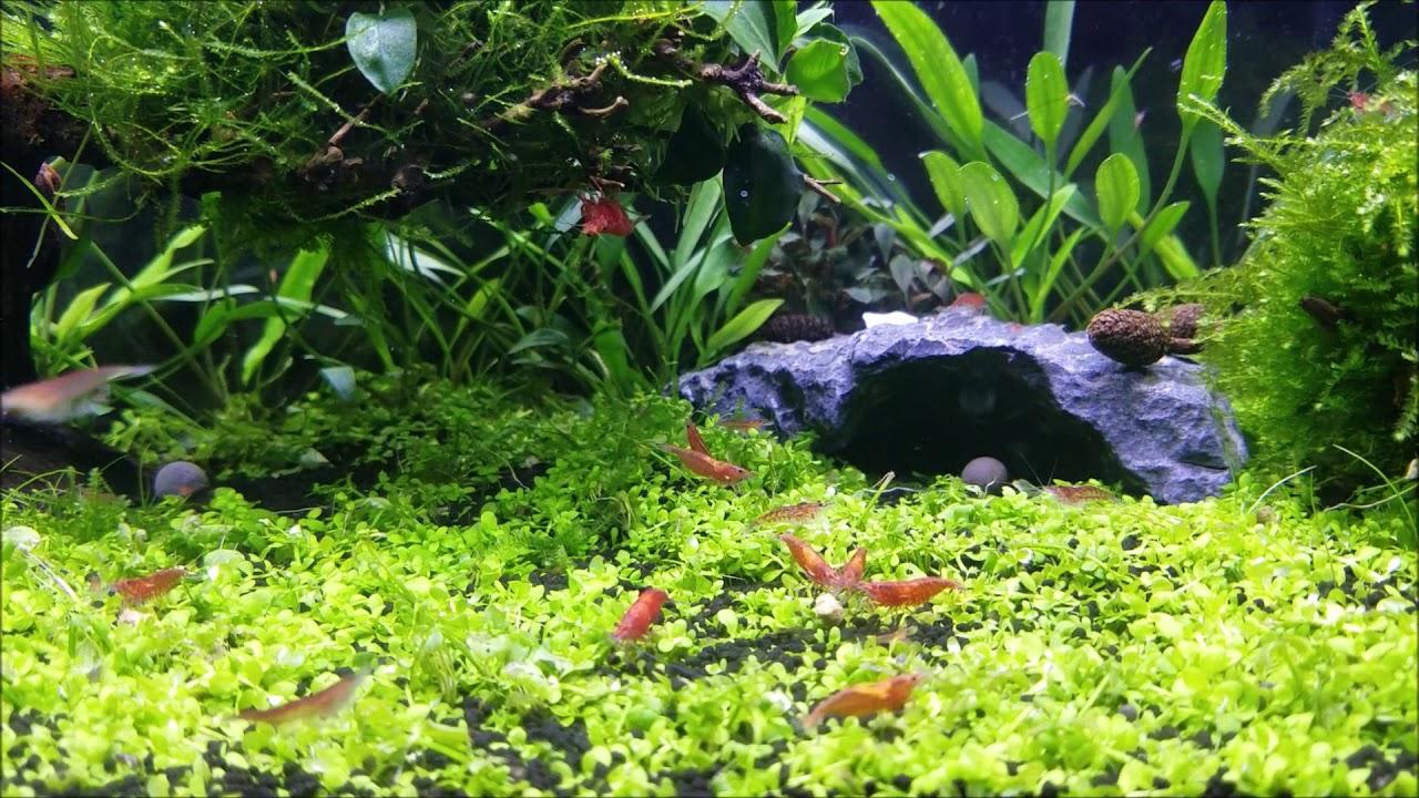 10 Gallon Shrimp Tank 1 Month Aquascape Carpet - YouTube
