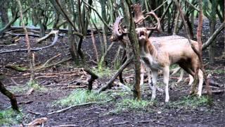 Burlende damherten/ Burling fallow deer Tijdens de bronst periode die ongeveer begint in oktober, gaan de mannetjes damherten burlen. Dit is een diep geluid vanuit de keel waarmee ze indruk proberen te maken op de vrouwtjes en de andere mannetjes damherten.