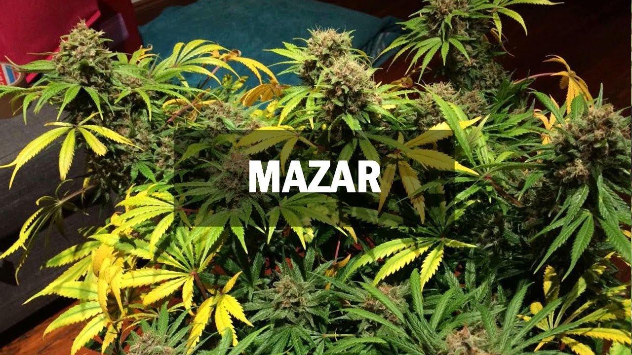 Новые сорта марихуаны конопля на конском навозе