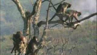 Maymunlar çiftleşirken Rahat Birakilmiyor.