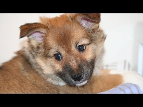 Hötti the Icelandic Sheepdog Puppy