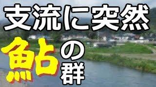 【岩手ローカル報聞】津軽石川支流 根井沢川に突然鮎 台風の影響?【宮古】