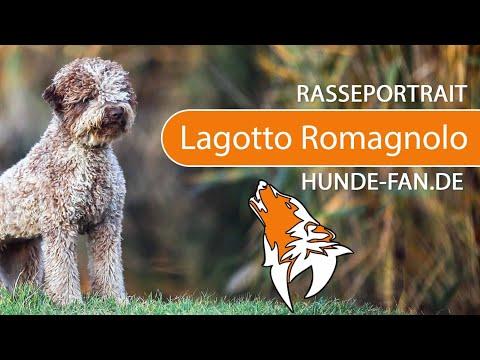 Lagotto Romagnolo 2019 Charakter Wesen Hunde Fan De