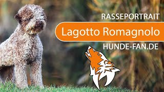 Lagotto Romagnolo [2019] Breed, Appearance & Character