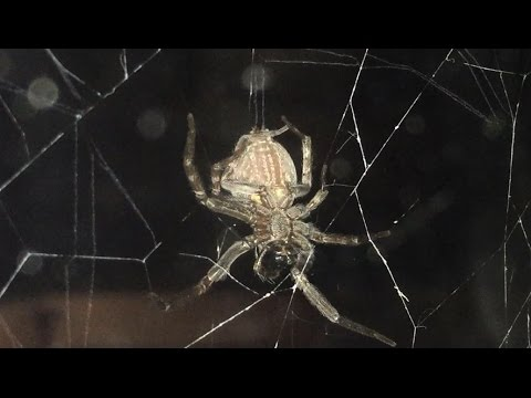Australian Garden Orb Weaving Spider in Action YouTube