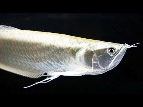 Top 10 Facts And Care Guide Of Silver Arowana