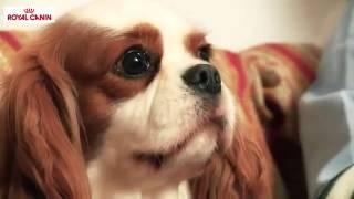 Royal Canin Cavalier King Charles Spaniel-Su Mascota.es