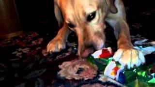 Our Labrador Retriever Opening His Gift.