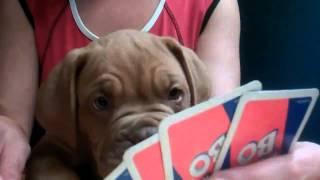 Douge De Bordeaux Puppy Max  Oldcountryhousenz.com