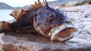 Разделка скорпены (морского ерша)
