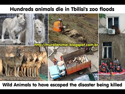 Hundreads Animals Die In Tbilisi Zoo Floods