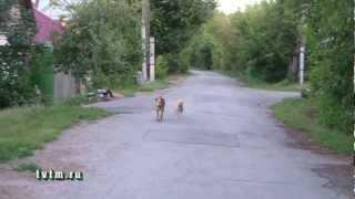 Одичавшие собаки в городе Тюмени улица Береговая