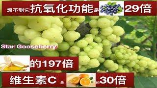 印度醋栗~(余甘子)神奇功效与作用.Health Benefits of Cermai Fruit (gooseberry, Phyllanthus acidus)