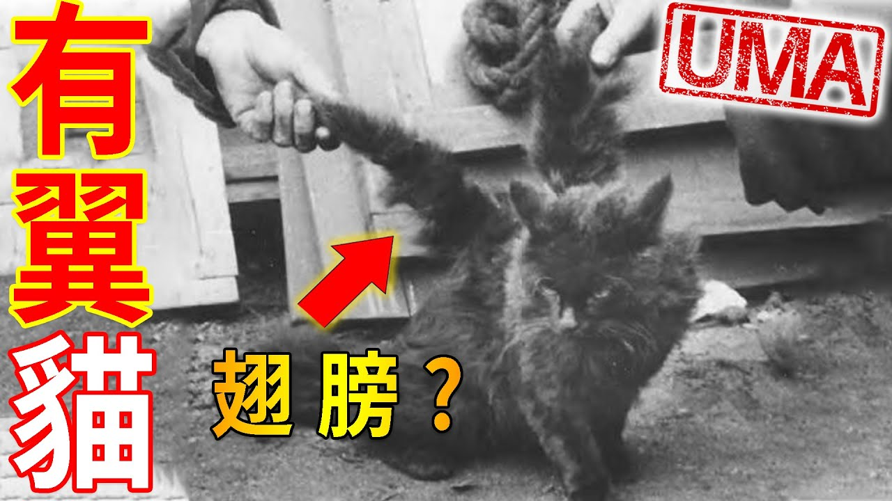 【UMA檔案】「有翼貓」- 長有翅膀的貓咪,又被稱為貓中天使,飛行天使貓的真相?Winged Cat/Flying Cat