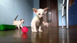 Маленькие сиамские котята