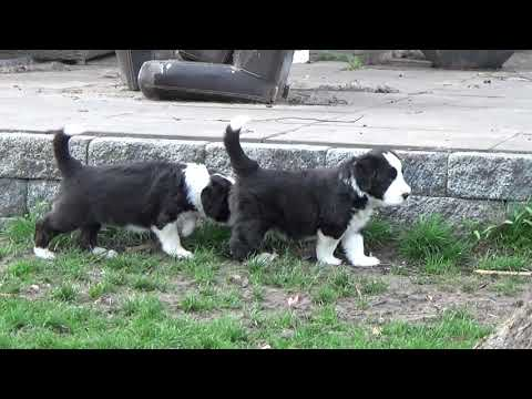 Bearded Collie puppies - 30 March 2019