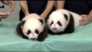Twin Baby Panda Cubs Named at Zoo Atlanta's 100-Day Celebration