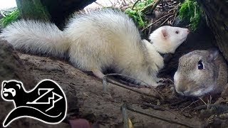 Frantic Ferret Foray - Sunrise Ferreting 23