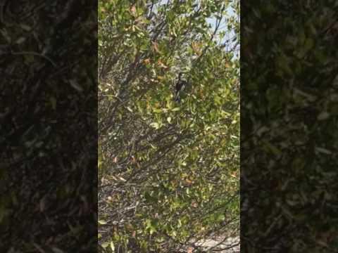Wildlife Wednesday - Mangrove Cuckoo