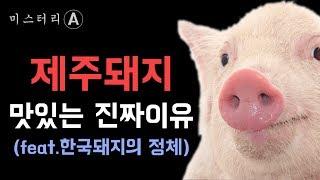 제주돼지가 맛있는 진짜 이유 / 한국 돼지 이야기 (기해년 특집)