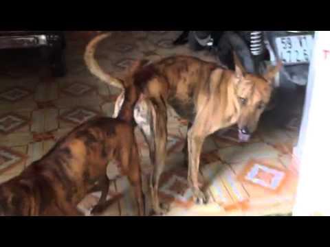 Chó phú quốc lần đầu bị phối giống