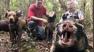 Hog hunting with dogs 2018 07 13