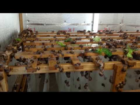 Snail farm breeding room.Kerry Escargot