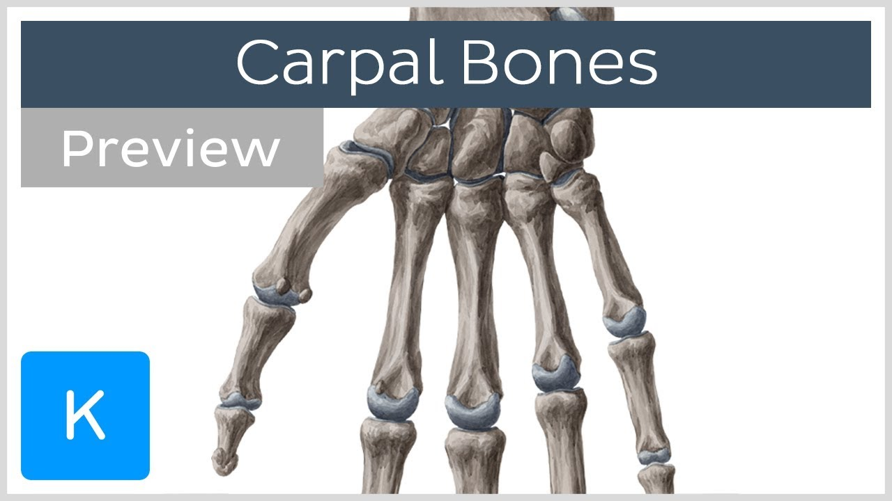 Download Carpal (Wrist) bones (preview) - Human Anatomy | Kenhub