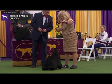 Spaniels (Cocker) Black | Breed Judging 2020