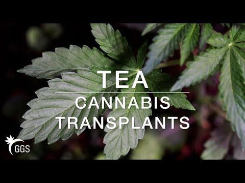 Transplant Tea for Living Organic & No Till Cannabis Growing:  Enzymes for the Garden